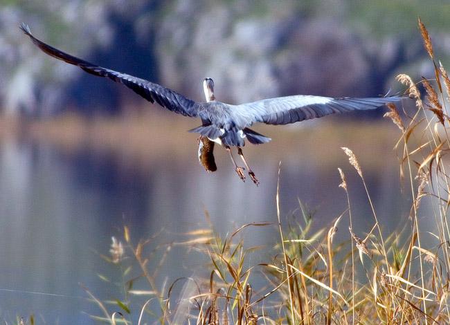 A Voracious Grey Heron
