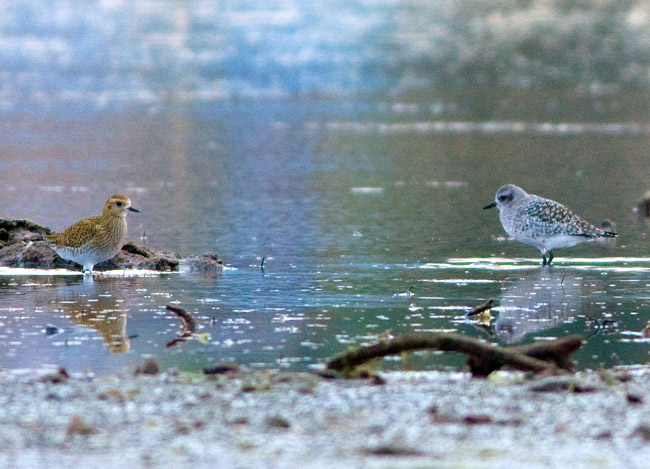 Grey and golden plovers