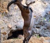 Κρητικός αίγαγρος - νεαρό αρσενικό