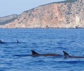 Κοινό δελφίνι