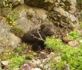 Αρκούδα - νεαρό