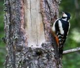 Πευκοδρυοκολάπτης - θηλυκό