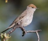 Μαυροσκούφης - θηλυκό