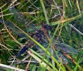 Libellula quadrimaculata - θηλυκό