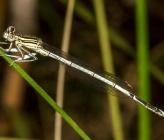 Platycnemis pennipes ssp nutidula