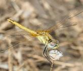 Sympetrum fonscolombei - νεαρό αρσενικό