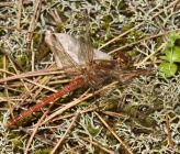 Sympetrum striolatum - αρσενικό