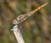 Trithemis annulata - θηλυκό
