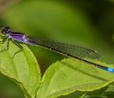Ischnura elegans f violacea