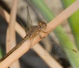 Sympetrum meridionale - θηλυκό