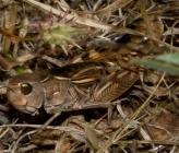 Arcyptera labiata