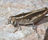 Calliptamus barbarus - θηλυκό