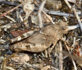Oedipoda caerulescens - νύμφη