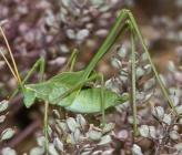 Acrometopa servillea - νύμφη