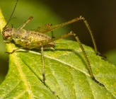 Phaneroptera nana - νύμφη