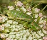 Poecilimon artedentatus - θηλυκό