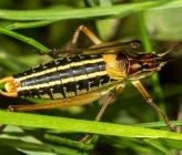 Poecilimon artedentatus - αρσενικό