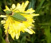 Poecilimon ebneri - αρσενικό