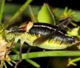 Poecilimon nobilis - αρσενικό