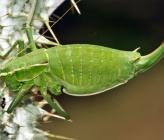 Poecilimon ornatus - θηλυκό