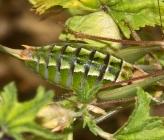 Poecilimon propinquus - θηλυκό