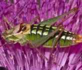 Poecilimon propinquus - αρσενικό