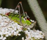 Poecilimon thoracicus - αρσενικό