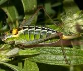 Poecilimon zimmeri - θηλυκό