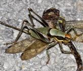 Eupholidoptera chabrieri - θηλυκό