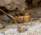 Eupholidoptera megastyla - θηλυκό