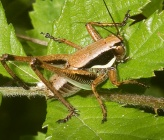 Eupholidoptera smyrnensis - νύμφη