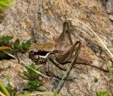 Pholidoptera femorata - θηλυκό