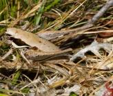 Pholidoptera lucasi - θηλυκό