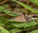 Pholidoptera lucasi - αρσενικό