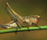 Platycleis affinis - θηλυκό