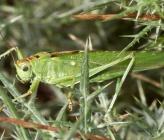 Tettigonia viridissima - αρσενικό