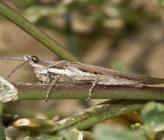 Pyrgomorpha conica - αρσενικό
