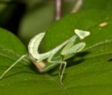 Mantis religiosa - νύμφη