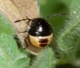 Tritomegas bicolor - νύμφη