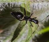Camponotidea fieberi