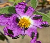 Acmaeodera bipunctata