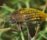 Julodis ehrenbergii subsp ehrenbergii