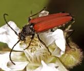 Anastrangalia sanguinolenta