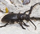 Herophila fairmairei