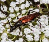 Stenurella bifasciata - αρσενικό