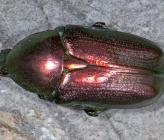 Protaetia angustata var purpurascens