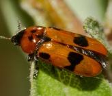 Clytra valeriana