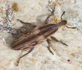 Mecaspis striatella