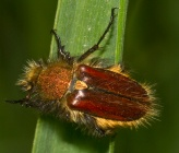 Pygopleurus diffusus