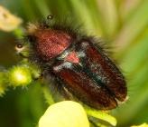 Pygopleurus medius